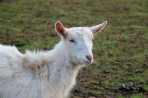 Friendly goat joins attractions at Fairytale Farm ahead of re-opening tomorrow